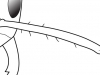 antennal scapes with less than 10 erect hairs