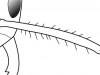 antennal scapes with morethan 10 erect-hairs